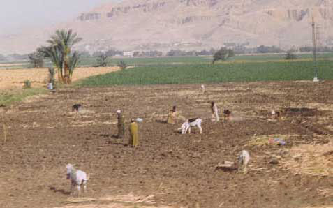 Royalty Free Pictures of Egyptian Farming